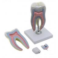 Model zuba 24cm