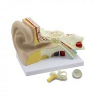 Model ljudskog uha - 4 dela uvećan 3 puta