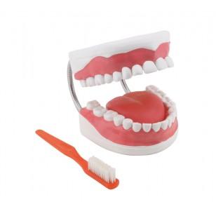 Model dentalne higijene - uvećan 6 puta