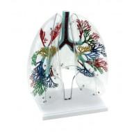 Model ljudskih pluća prirodne veličine