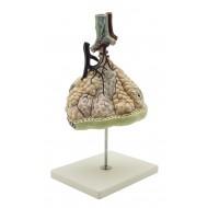 Model plućnih alveola