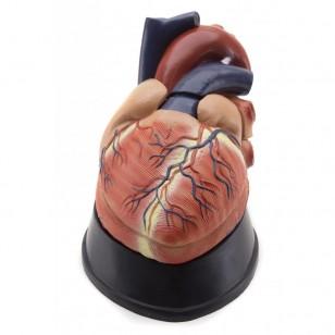 Model ljudskog srca - 6 delova uvećan 2 puta