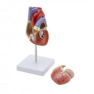 Model ljudskog srca - 2 dela prirodne veličine