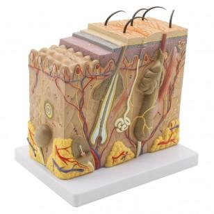 Model ljudske kože uvećan 40 puta