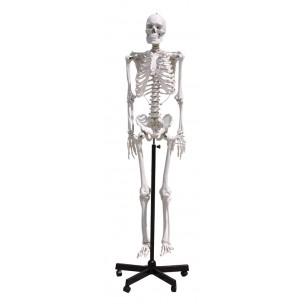 Model ljudskog skeleta 170cm
