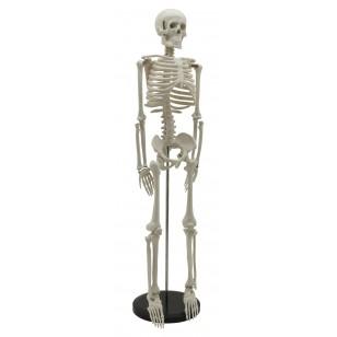 Model ljudskog skeleta 85cm