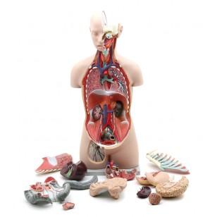 Visoko kvalitetan model ljudskog torzoa 85cm sa otvorenim leđima